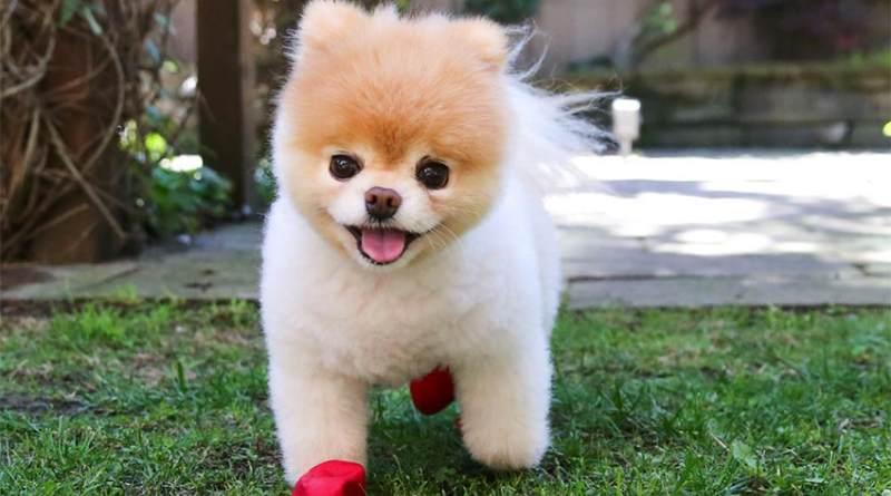 Boo_perro